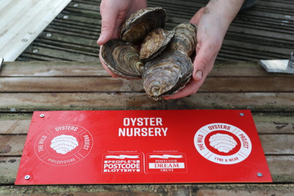 Native oysters restored to UK waters