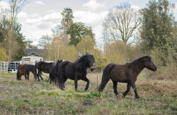 RSPB HQ Welcome Six New Team Members - Dartmoor Ponies!