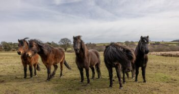 RSPB HQ Welcome Six New Team Members - Dartmoor Ponies!