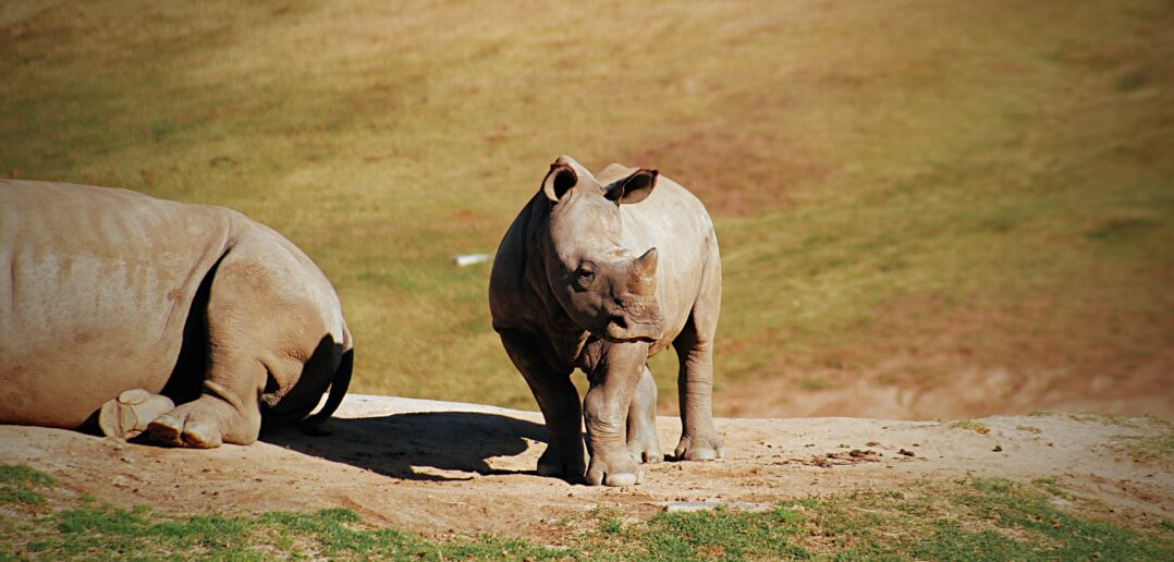 The Near Extinct Nepal Rhino Populations Rise to New High
