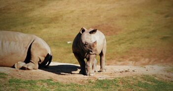 The Near Extinct Nepal Rhino Populations Rise to New High