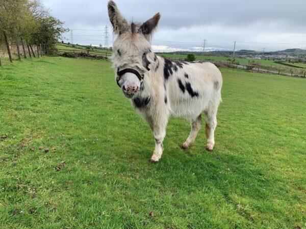 Life-saving surgery for Highlands' donkey