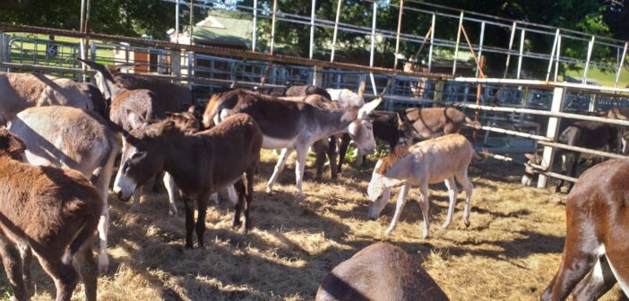 South African Donkeys Saved From Slaughterhouse