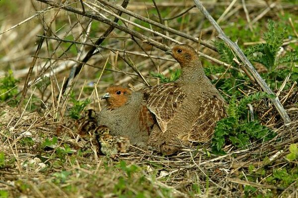 Small steps can have a big effect in helping Britain's favourite gamebird